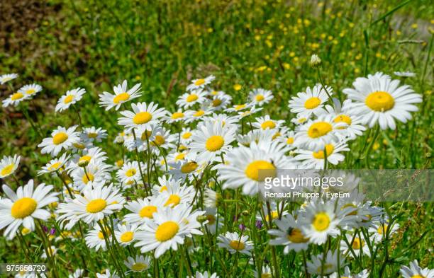 close-up of white daisy flowers - {{relatedsearchurl('london eye')}} stock photos and pictures