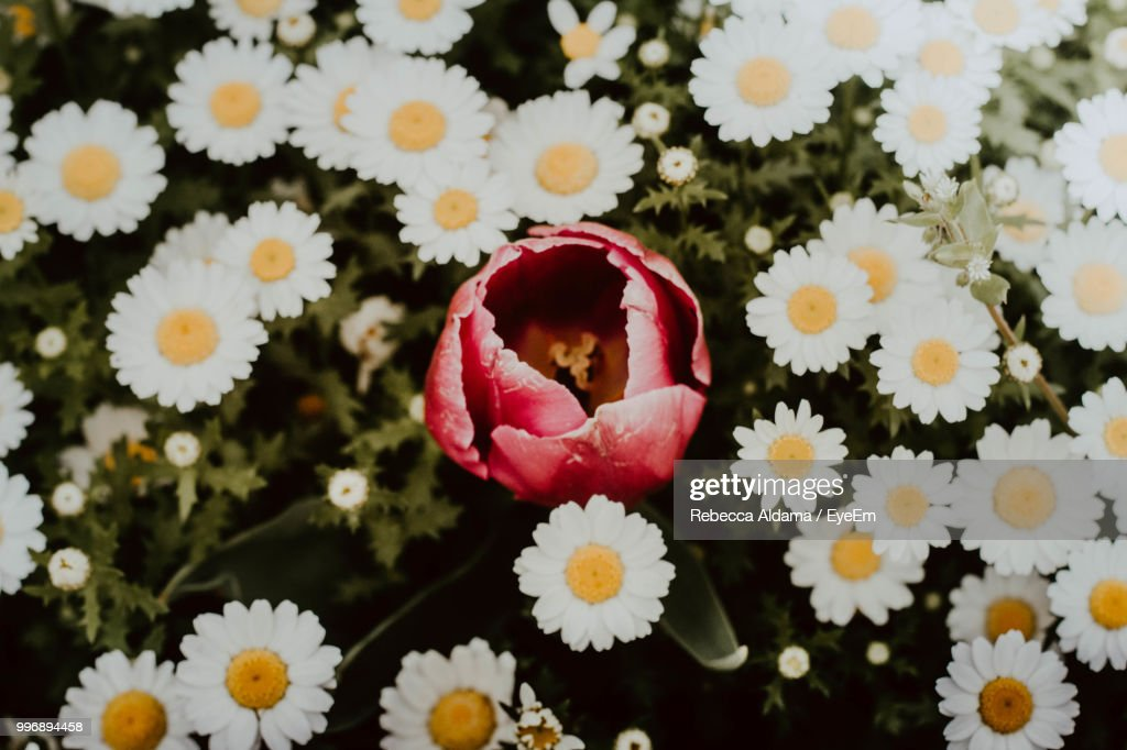 Close-Up Of White Daisy Flowers : Stock Photo
