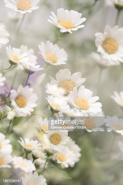 close-up of white daisy flowers,london,united kingdom,uk - uncultivated stock pictures, royalty-free photos & images