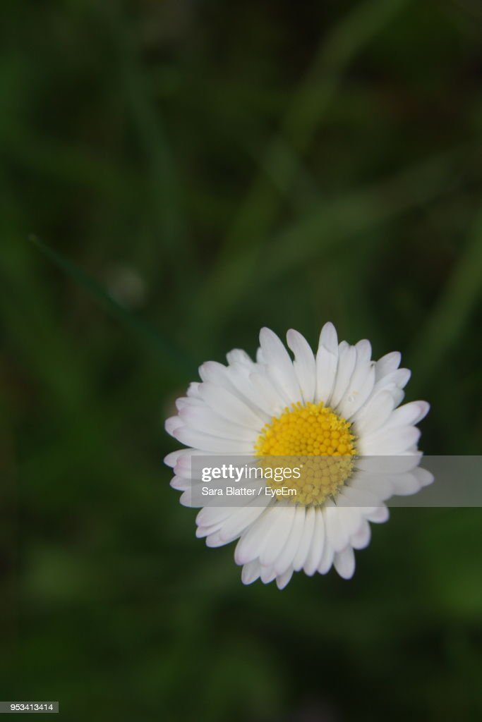 closeup of white daisy ストックフォト getty images