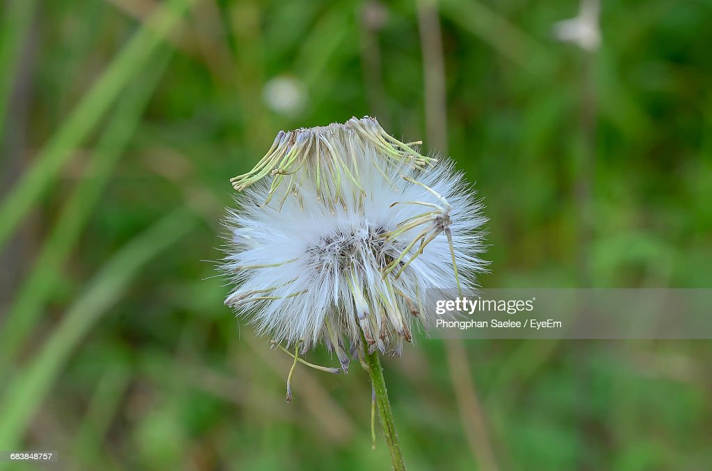 Closeup of white dandelion flower growing outdoors stock photo close up of white dandelion flower growing outdoors stock photo mightylinksfo