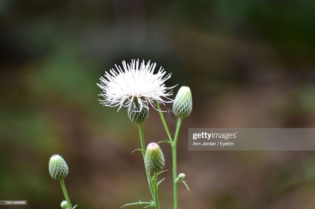 Closeup of white dandelion flower on field stock photo getty images close up of white dandelion flower on field stock photo mightylinksfo