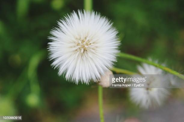 close-up of white dandelion flower - koper stock photos and pictures