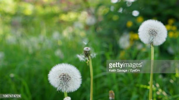 close-up of white dandelion flower - keith savage stock-fotos und bilder