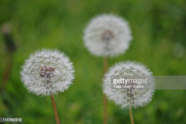 close-up of white dandelion flower - tolga erbay stock photos and pictures