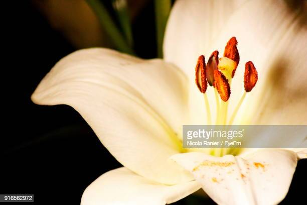 Close-Up Of White Day Lily Blooming Outdoors