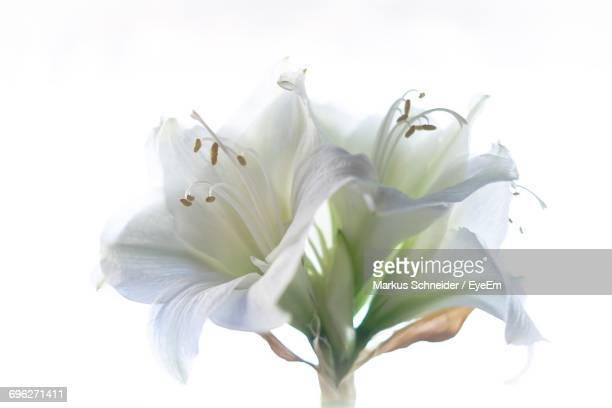 Close-Up Of White Day Lily