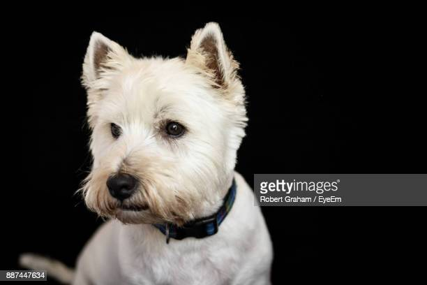 close-up of white dog against black background - west highland white terrier stock photos and pictures