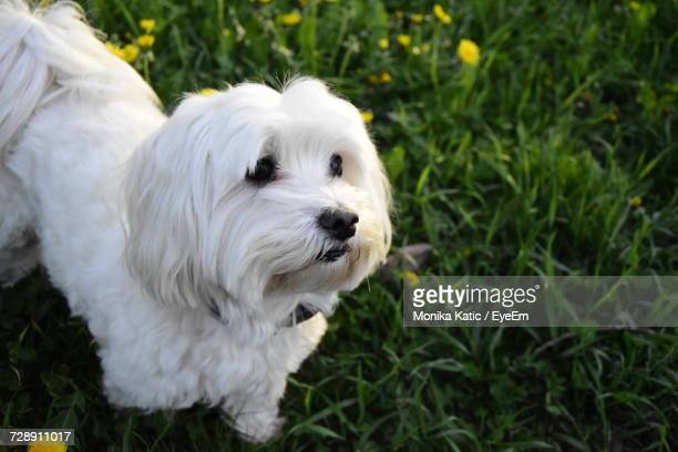 Close-Up Of White Dog On Field