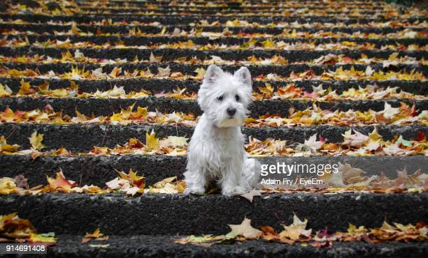 close-up of white dog sitting on steps during autumn - west highland white terrier stock photos and pictures