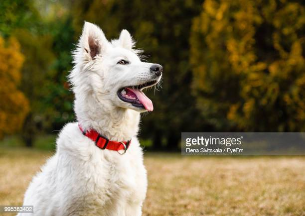 close-up of white dog sticking out tongue at park during autumn - collar stock pictures, royalty-free photos & images