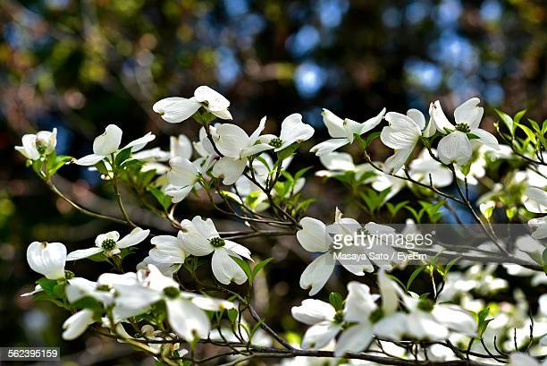 close-up of white dogwood flowers - dogwood blossom stock pictures, royalty-free photos & images