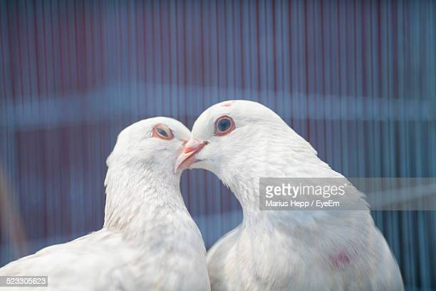 Close-Up Of White Dove Kissing In Cage