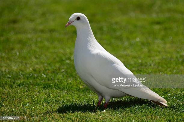 Close-Up Of White Dove Perching On Grassy Field