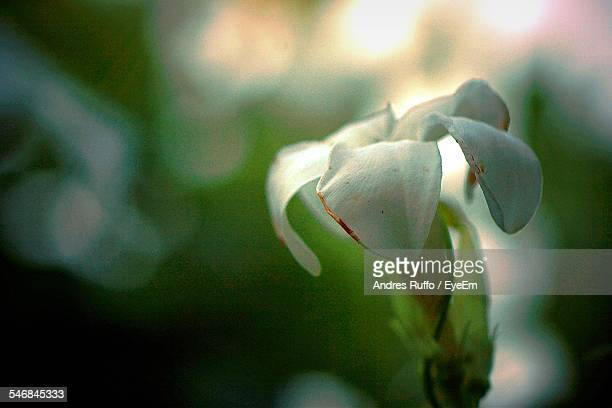 close-up of white flower against blurred background - andres ruffo stock pictures, royalty-free photos & images