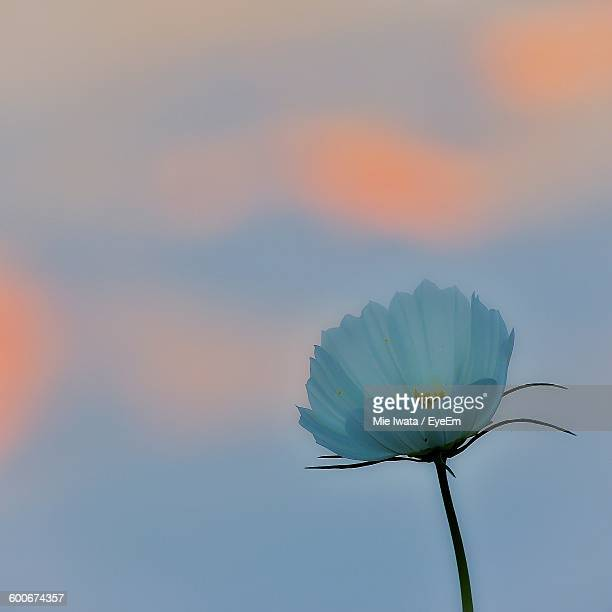 Close-Up Of White Flower Against Sky During Sunset