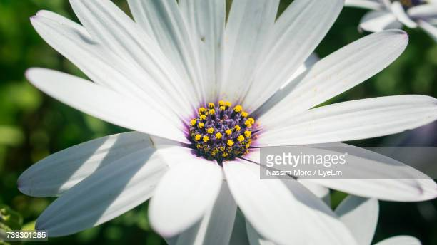 close-up of white flower blooming outdoors - oran algeria photos et images de collection