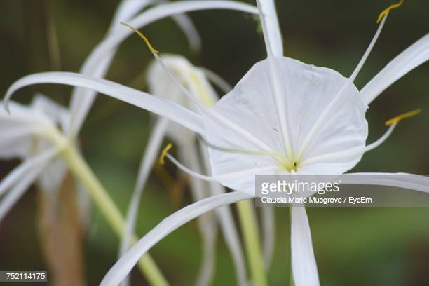 close-up of white flower blooming outdoors - claudia marie stock-fotos und bilder