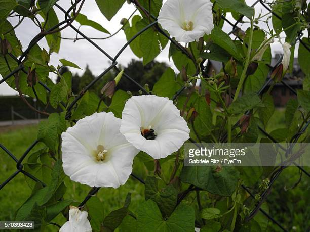 Close-Up Of White Flower Growing On Fence