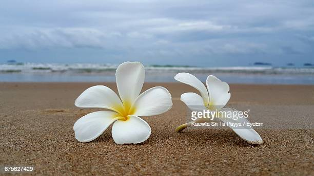Close-Up Of White Flower On Beach