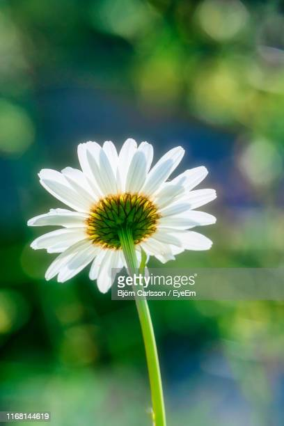 close-up of white flower - västra götaland county stock pictures, royalty-free photos & images