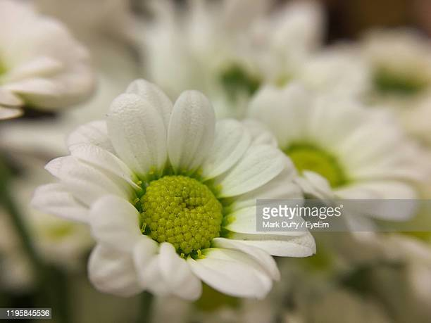 close-up of white flower - mark bloom stock pictures, royalty-free photos & images