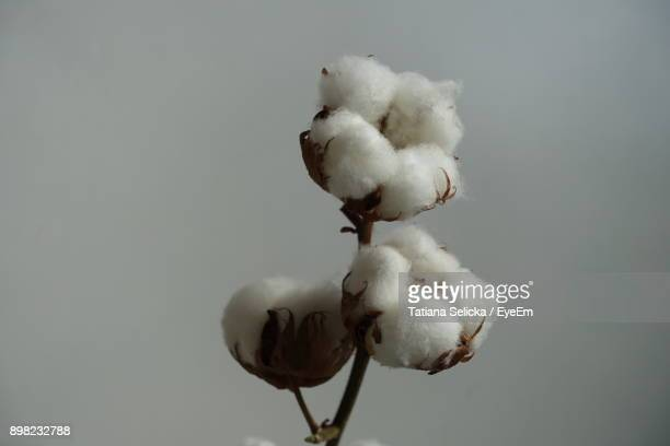 close-up of white flower - cotton stock pictures, royalty-free photos & images
