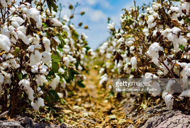 close-up of white flower tree in field - cotton stock pictures, royalty-free photos & images