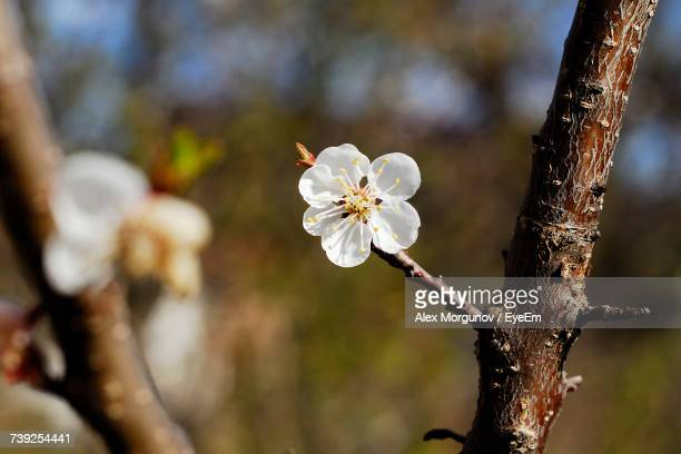 Close-Up Of White Flower Tree