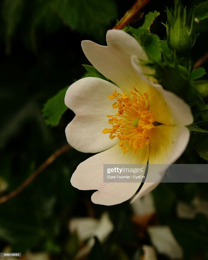 Close-Up Of White Flower With Yellow Pollen : Stock Photo