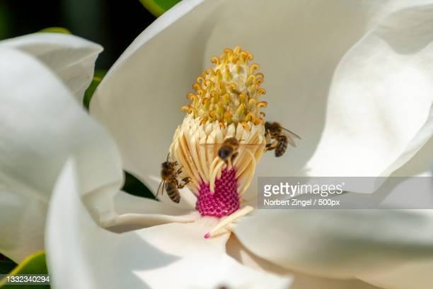 close-up of white flower,guernsey - norbert zingel stock-fotos und bilder