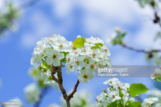 close-up of white flowering plant against sky - frank schrader stock pictures, royalty-free photos & images
