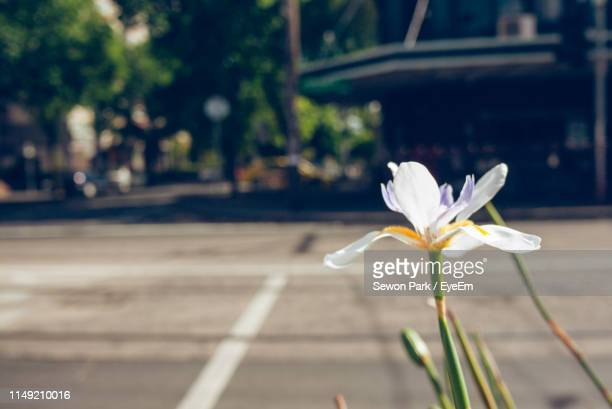 close-up of white flowering plant by road in city - iris photos et images de collection