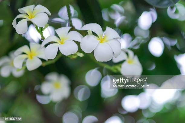 close-up of white flowering plant in park - anuwat somhan stock photos and pictures