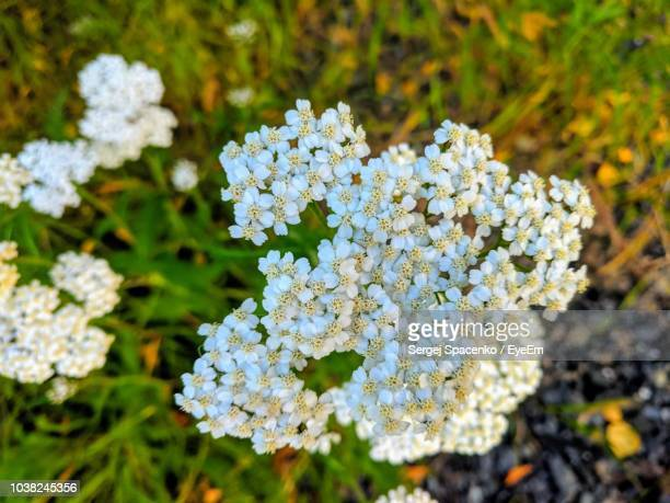close-up of white flowering plant - lantana stock pictures, royalty-free photos & images