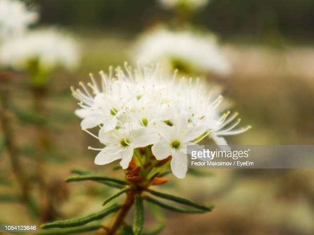 close-up of white flowering plant - fedor stock pictures, royalty-free photos & images