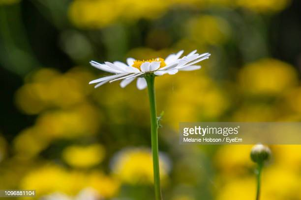close-up of white flowering plant - チープヴァル ストックフォトと画像