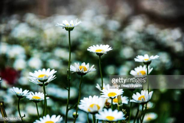 close-up of white flowering plant - tolga erbay stock photos and pictures