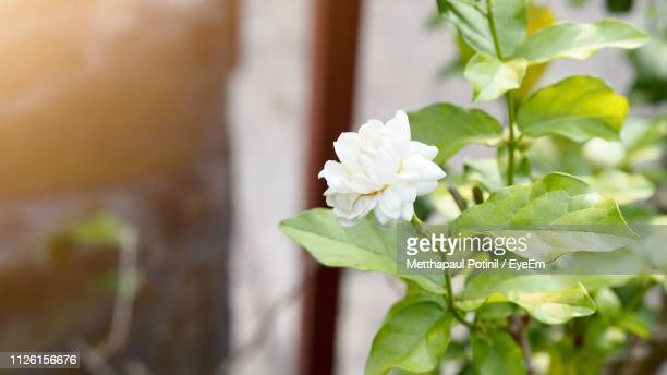 close-up of white flowering plant - metthapaul stock photos and pictures