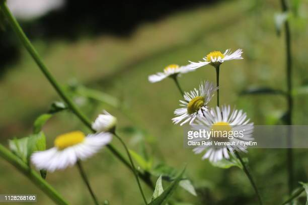 close-up of white flowering plant - ruel stock pictures, royalty-free photos & images