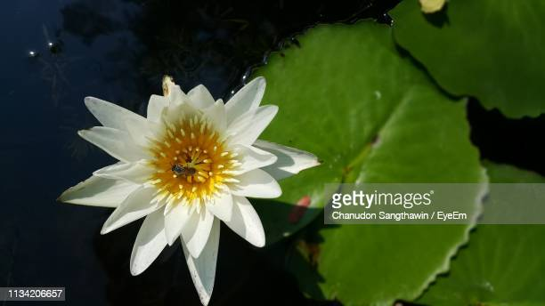 close-up of white flowering plant - chanudon eyeem stock photos and pictures