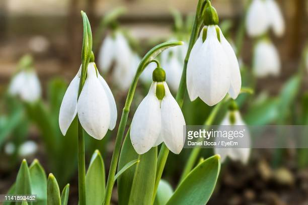 close-up of white flowering plant - snowdrop stock pictures, royalty-free photos & images