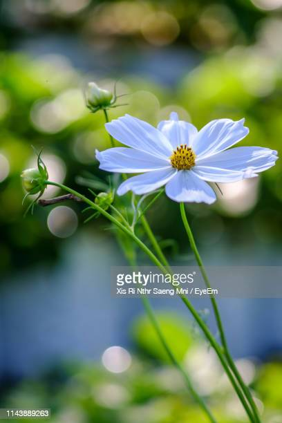 close-up of white flowering plant - cosmos flower stock photos and pictures