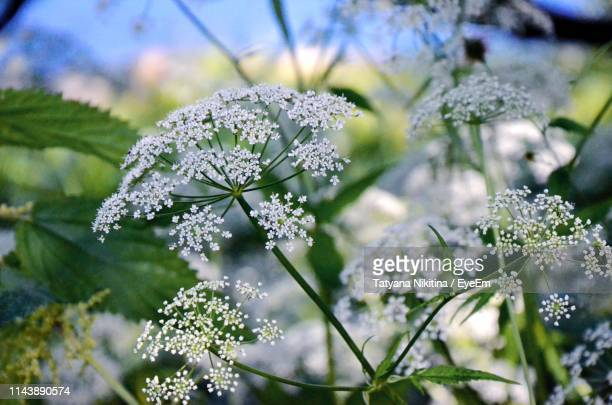close-up of white flowering plant - nikitina stock pictures, royalty-free photos & images