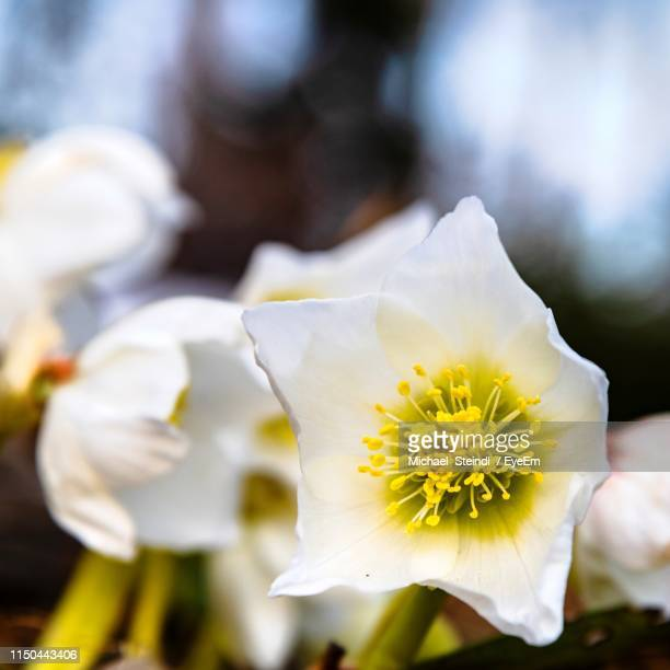 close-up of white flowering plant - michael stock photos and pictures