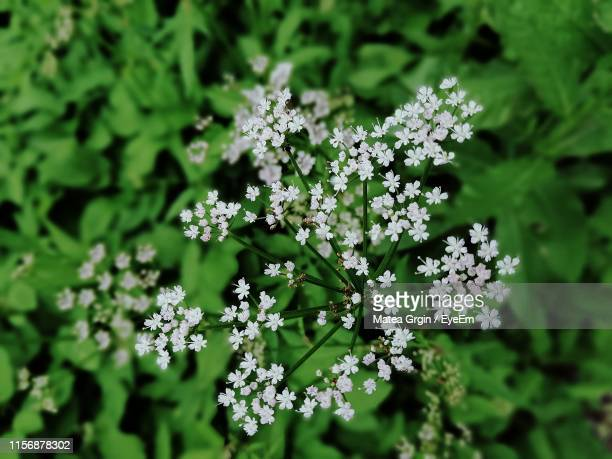 close-up of white flowering plant - anise stock pictures, royalty-free photos & images