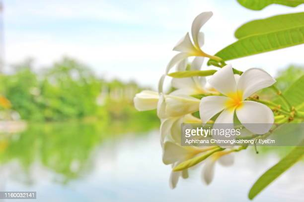 close-up of white flowering plant - thai mueang photos et images de collection