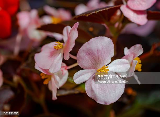 close-up of white flowering plant - begonia stock pictures, royalty-free photos & images