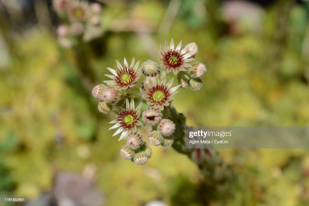 Close-Up Of White Flowering Plant : Stock-Foto