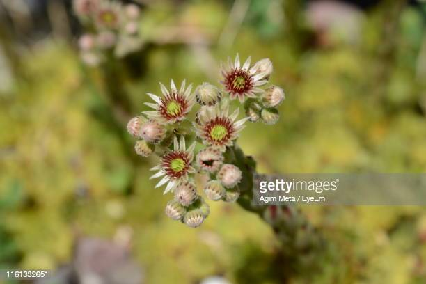 close-up of white flowering plant - agim meta stock pictures, royalty-free photos & images